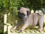 USA, California. Pug puppy standing on yellow bench. Photographic Print by Zandria Muench Beraldo