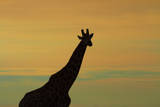 Silhouette of Giraffe, Nxai Pan NP, Botswana, Africa Photographic Print by David Wall