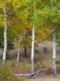 USA, Colorado. Aspens along the road in Rocky Mountain National Park. Photographic Print by Anna Miller