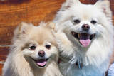 USA, California. Portrait of two Pomeranians sitting on a wooden bench Photographic Print by Zandria Muench Beraldo