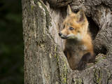 USA, Minnesota, Minnesota Wildlife Connection. Red Fox in a tree. Photographic Print by Wendy Kaveney