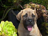 USA, California. Mastiff puppy portrait with succulents. Photographic Print by Zandria Muench Beraldo