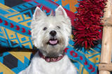 Westie looking up. Photographic Print by Zandria Muench Beraldo