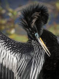 Anhinga preens while drying its feathers, Everglades NP, Florida, USA Photographic Print by Wendy Kaveney