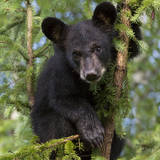 USA, Minnesota, Minnesota Wildlife Connection. Black bear in a tree. Photographic Print by Wendy Kaveney