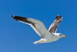 Seagull, Walvis Bay, Erongo Region, Namibia. Photographic Print by Nico Tondini