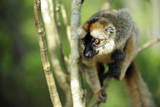 Common Brown Lemur in a tree, Ile Aux Lemuriens, Andasibe, Madagascar Photographic Print by Anthony Asael
