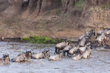 Blue wildebeest crossing the Mara River, Maasai Mara, Kenya Photographic Print by Nico Tondini