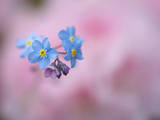 Forget-me-not flowers, Shampers Bluff, Kingston, New Brunswick, Canada Photographic Print by Ellen Anon