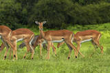 Herd of Impala, by Chobe River, Chobe NP, Kasane, Botswana, Africa Photographic Print by David Wall