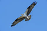 USA, Florida, Edgewater, Osprey flying with fish Photographic Print by Jim Engelbrecht