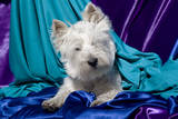 Westie puppy posing. Photographic Print by Zandria Muench Beraldo