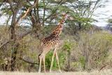 Giraffe, Maasai Mara National Reserve, Kenya Photographic Print by Nico Tondini