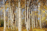 Aspens with autumn foliage, Kaibab National Forest, Arizona, USA Photographic Print by Michel Hersen