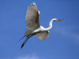 USA, Florida, St. Augustine, Egret in flight at the Alligator farm. Photographic Print by Joanne Wells