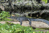 USA, Florida, Orange City, St. Johns River, Blue Spring SP, alligator Photographic Print by Jim Engelbrecht