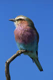 Lilac-breasted Roller, Hwange National Park, Zimbabwe, Africa Photographic Print by David Wall