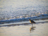 USA, California. Coastal bird along Morro Bay beach. Photographic Print by Anna Miller