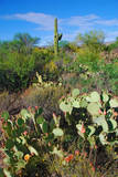 USA, Arizona. Cactus in Saguaro National Park. Photographic Print by Anna Miller