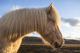Portrait of Icelandic horse, Iceland. Photographic Print by Bill Young