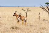 Topi, Maasai Mara National Reserve, Kenya Photographic Print by Nico Tondini
