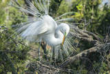 USA, Florida, St. Augustine, Great Egret at Alligator Farm rookery Photographic Print by Jim Engelbrecht