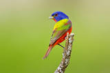 Painted Bunting male perched. Photographic Print by Larry Ditto