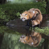 USA, Minnesota, Sandstone. Red fox and kit reflected in water's edge. Photographic Print by Wendy Kaveney