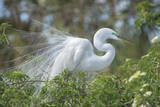 USA, Florida, Orlando. Great Egret at Gatorland. Photographic Print by Jim Engelbrecht