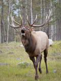 Canada, Alberta, Jasper National Park. Bull elk bugling. Photographic Print by Don Paulson