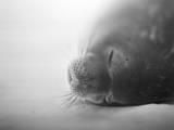 Weddell Seal resting in snow on Deception Island, Antarctica Photographic Print by Paul Souders