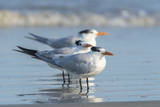 Royal Tern at New Smyna Beach, Florida, USA Photographic Print by Jim Engelbrecht