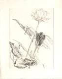 Deux roses Sammlerdruck von Avigdor Arikha