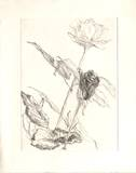 Deux roses Collectable Print by Avigdor Arikha