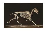 Skeleton of Running Horse Print