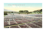 Acres of Drying Prunes Stampe