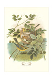 Prairie Warbler Nest and Eggs Posters