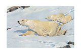 Three Polar Bears Poster