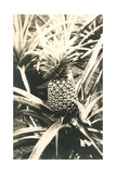 Pineapple on Plant Posters