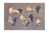 Roosters and Hens Posters
