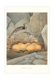Ruffed Grouse Nest and Eggs Posters