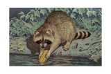 Raccoon Washing Corn Prints