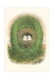 Towhee Bunting Nest and Eggs Prints
