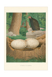 Turkey Buzzard Reproduction giclée Premium
