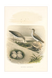 Spotted Sandpiper Nest and Eggs Prints