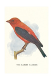 Scarlet Tanager Posters