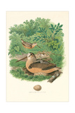 American Woodcock Nest and Eggs Prints