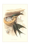 Barn Swallow Nest and Eggs Print