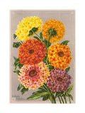 Gaillardia Perfection Posters