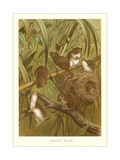Harvest Mice Posters